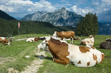 Österreichische Kühe