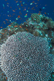 Coral of genus Acropora pharaonis, Maldives poster