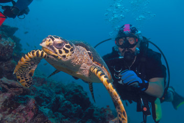 The hawksbill turtle swimming away from diver