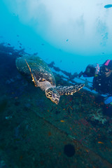 The hawksbill turtle (Eretmochelys imbricata) near ship wreck
