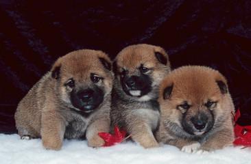 trois adorables tout petits shiba Inu en studio de face