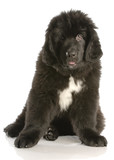newfoundland puppy twelve weeks old with reflection on white poster
