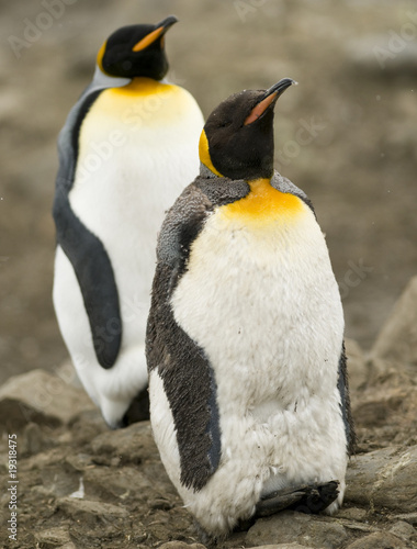 To King Penguins, One in Moult