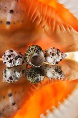 Sea cockleshells.