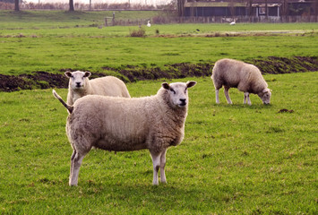 some sheep in a meadow