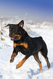 The Rottweiler runs