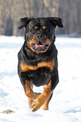 The Rottweiler runs