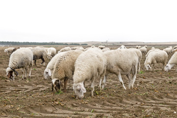 Ganado ovino pastando