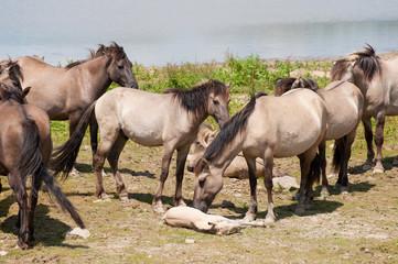 Herd wild horses