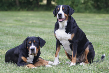 Zwei Schweizer Sennenhunde