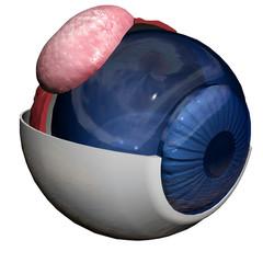 anatomie vue