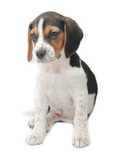 Cute tri-colored beagle puppy sitting on white background