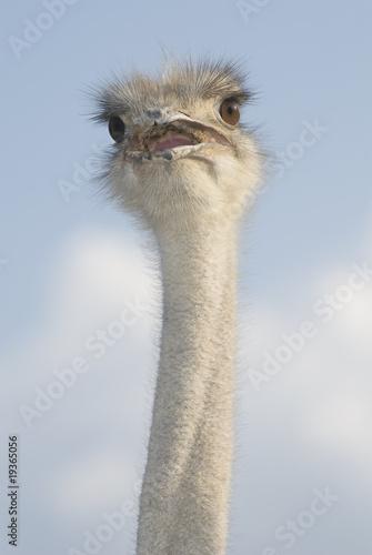 Fotobehang Struisvogel ostrich head