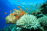 Acropora and fire corals poster
