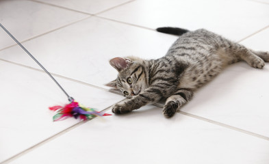 10 weeks old kitten lying on the  floor playing with it's toy