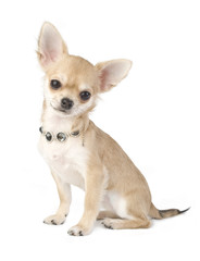 nice chihuahua puppy with necklace portrait isolated