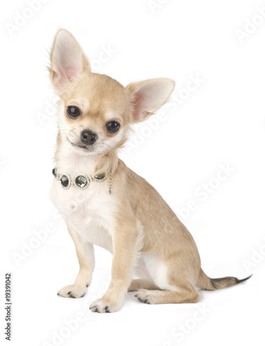 Poster nice chihuahua puppy with necklace portrait isolated
