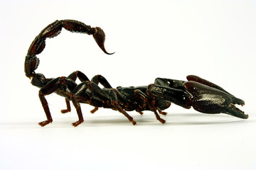 Scorpion (Ptalamneus Fulvipes)