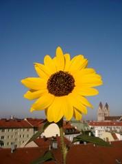 Sonnenblume mit Insekt vor Stadtkulisse