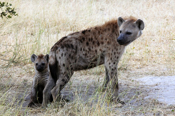 Spotted Hyenas in the Kalahari