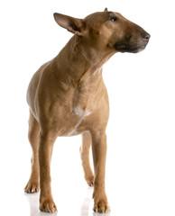 bull terrier female standing on white - red smut color
