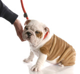 hand reaching down to pet an english bulldog puppy on leash poster
