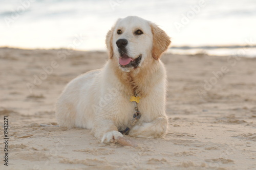 Golden Retriever sat on a south australian beach