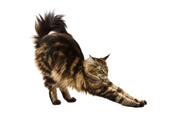 maine coon cat stretching