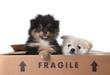 Cute Pomeranian Puppies Inside a Cardboard Box