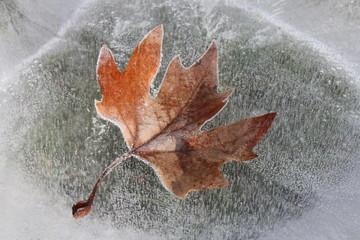 feuille gelée