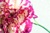 Close up of a variegated Dianthus caryophyllus  flower