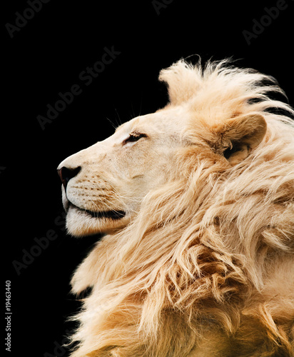 Lion isolated