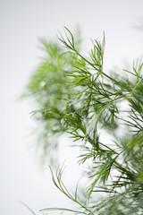 légume plante branche de fenouil