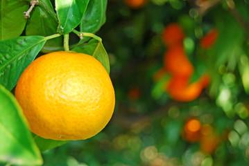 Pianta di mandarini