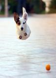 Jack Russel Jump 3