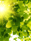 Green leaves with sun ray.