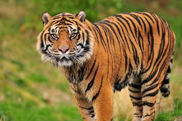 Beautiful Sumatran tiger horizontal standing portrait
