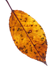 Sick Leaf on a gleam, capillaries of a leaf are visible