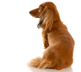 long haired miniature dachshund sitting  with back to viewer