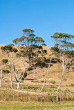 Eucalyptus and melaleuca trees on hill