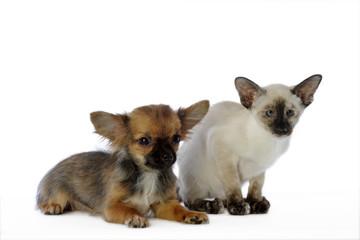 chihuahua et siamois côte à côte dans la même position