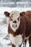 young female cow in a snow covered field