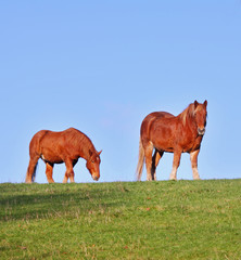 A pair of young Suffolk Punch Horses