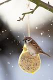 Eurasian Tree Sparrow at the fat ball poster