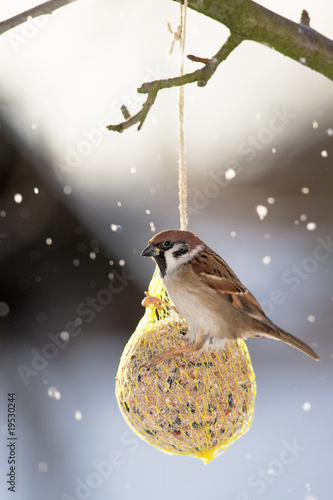 Eurasian Tree Sparrow at the fat ball