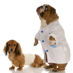 english bulldog doctor or vet with wounded dachshund