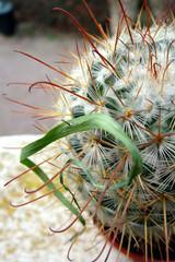 piège du cactus