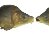 two lively big carp