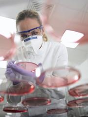 Scientist using inoculating loop on petri dish