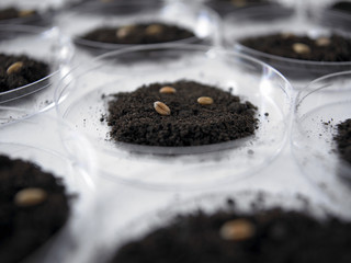 Seeds and dirt in petri dishes